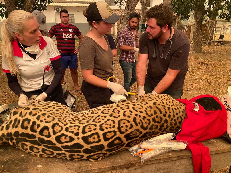 Pantanal sofre a maior devastação de sua história enquanto voluntários lutam para salvar os animais