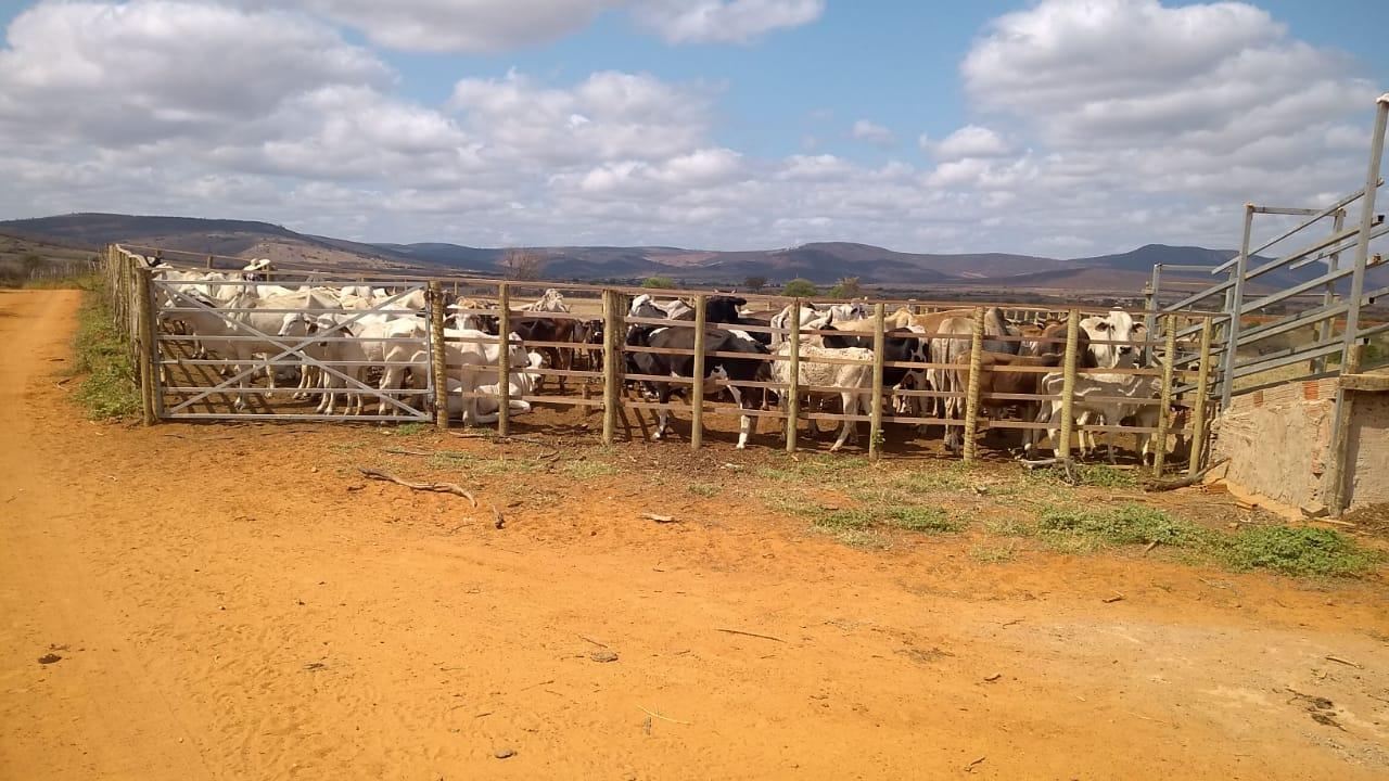 Região de Conquista: ADAB detectam quadrilha especializada em esquentar guias clandestinas de animais