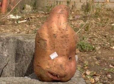 Vitória da Conquista: Moradores colhem batata doce gigante de mais de três quilos